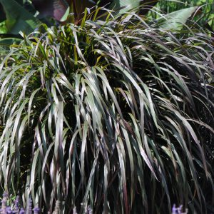 Pennisetum purpureum 'Princess Molly'