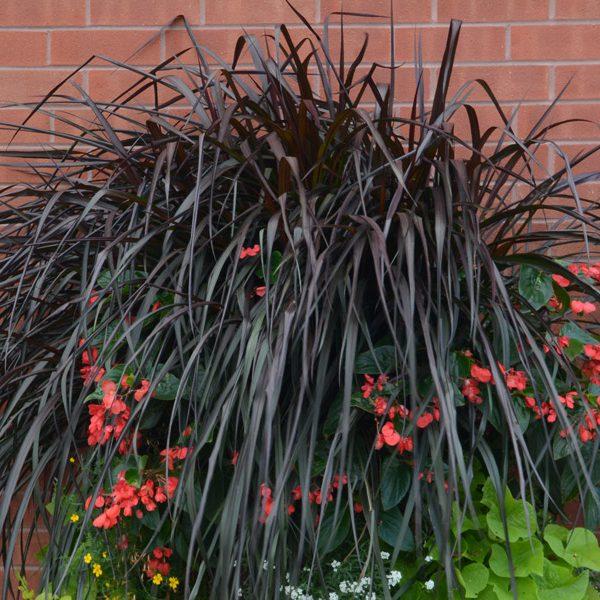 Pennisetum purpureum 'Regal Princess'
