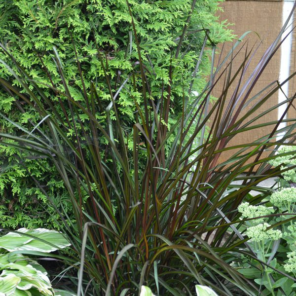 Pennisetum 'Royal Lady'