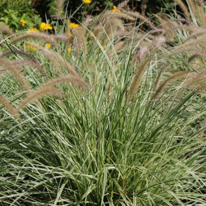 Pennisetum x advena 'Sky Rocket'