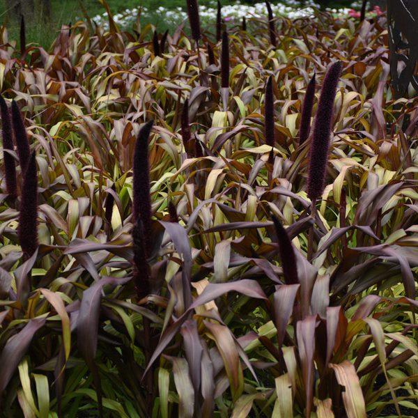 Pennisetum glaucum 'Copper Prince'