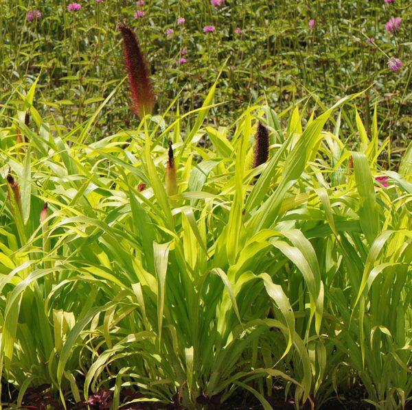 Pennisetum glaucum 'Jade Princess'