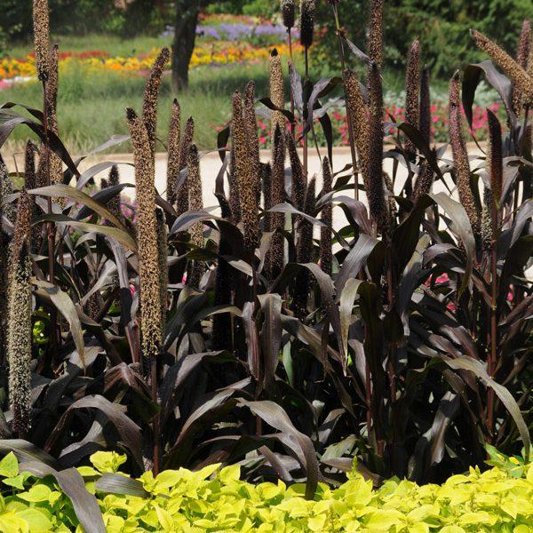 Pennisetum glaucum 'Purple Baron'