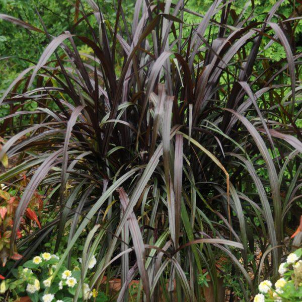 Pennisetum purpureum 'Princess Caroline'