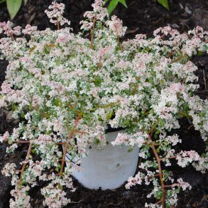 Pilea microphylla 'Mountain Snow'