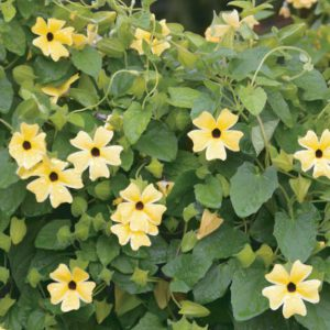 Thunbergia alata 'Arizona Lemon Sunrise'
