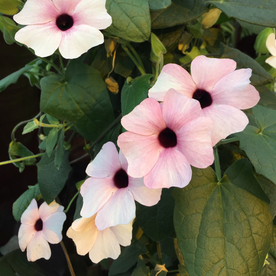 Thunbergia alata 'Arizona Pink Beauty'