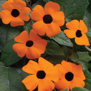 Thunbergia alata 'Orange Beauty'