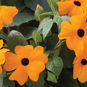 Thunbergia alata 'Sunny Suzy New Orange'