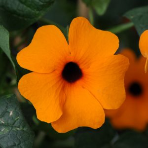 Thunbergia alata 'Sunny Suzy Red Orange'