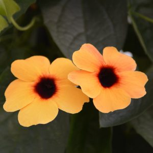 Thunbergia alata 'Arizona Terracotta'