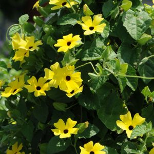 Thunbergia alata 'Lemon'