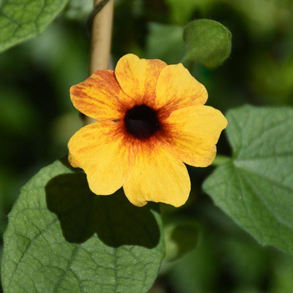 Thunbergia alata 'Orange Diverse'