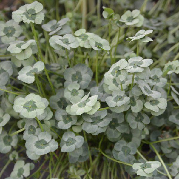 Trifolium repens 4 Luck Green Glow