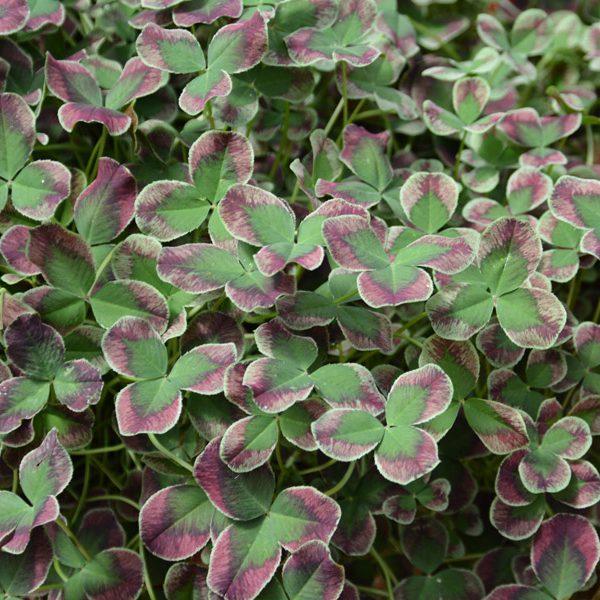 Trifolium repens 'Limerick Estelle'