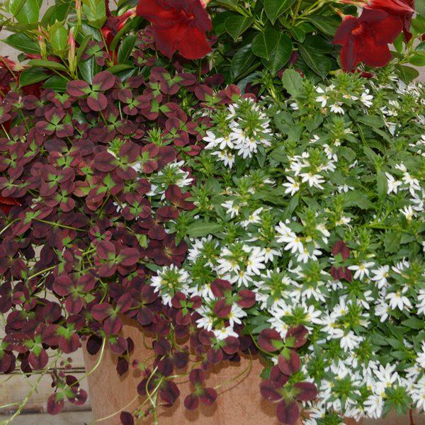 Trifolium repens 'Limerick Isabella'