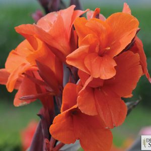 Canna Elite 'Orange Chocolate'