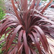 Cordyline australis 'Crimson Star'