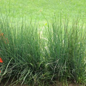 Juncus 'Blue Dart & Twister'