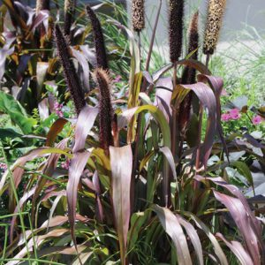 Pennisetum glaucum 'Purple Majesty'