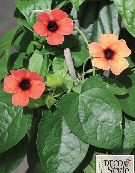 Thunbergia alata 'Arizona Dark Red'