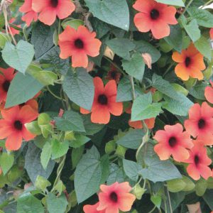 Thunbergia alata 'Arizona Glow'