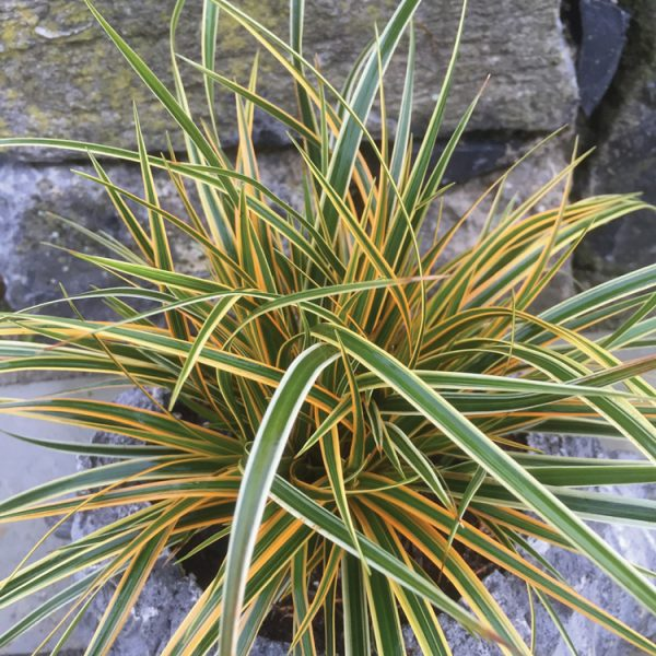 Carex oshimensis EverColor® 'Everglow'