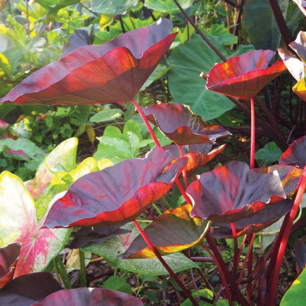 Colocasia 'Tea Party'