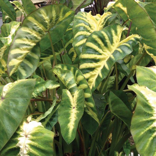 Colocasia esculenta Royal Hawaiian® 'Maui Sunrise'