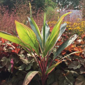 Cordyline fruticosa 'Pink Diamond'