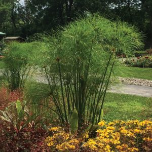 Cyperus papyrus 'Nile Queen'