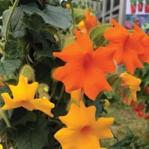 Thunbergia Thunshine™ Orange ('Westhushior')