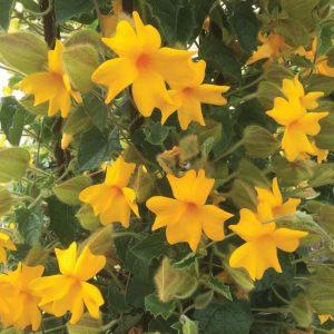 Thunbergia Thunshine™ Yellow ('Westhuhiyel')