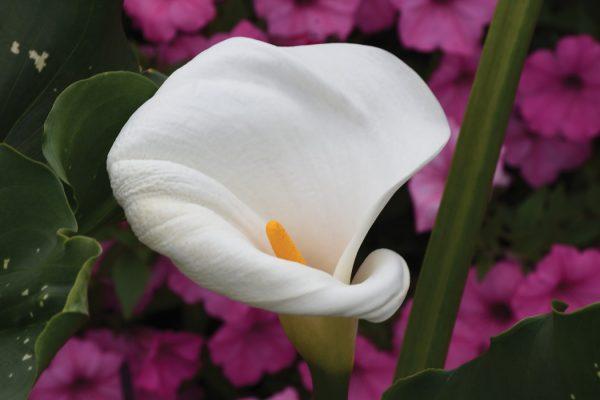 Zantedeschia aethiopica 'White Giant'