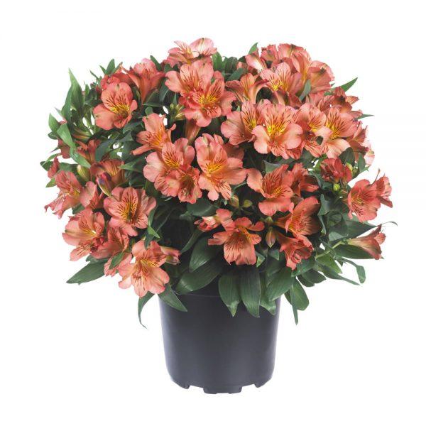 Alstroemeria Colorita® Eliane® Orange 'Zaprieliarange'