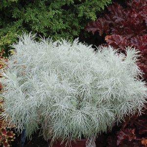 Artemisia mauiensis Makana™ Silver 'TNARTMS'