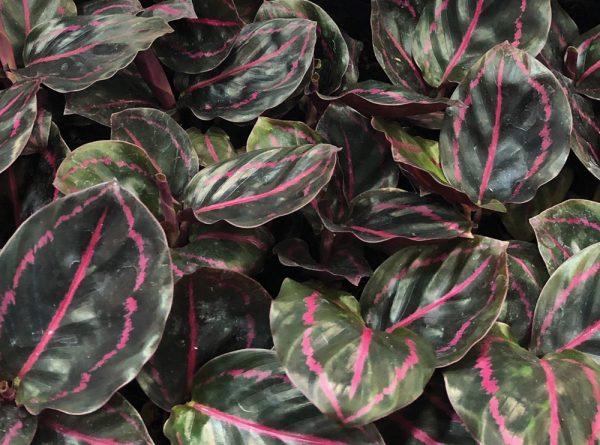 Calathea roseopicta 'Dottie'