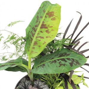Musa acuminata var. sumatrana 'Grand Nain'