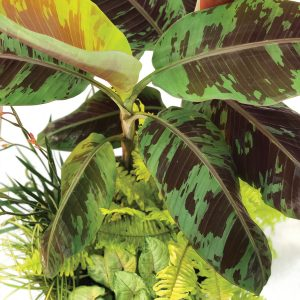 Musa acuminata var. sumatrana 'Mystik'