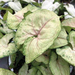 Syngonium podophyllum podophyllum Bright Allusion™