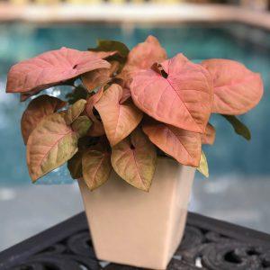 Syngonium podophyllum Coral Allusion™