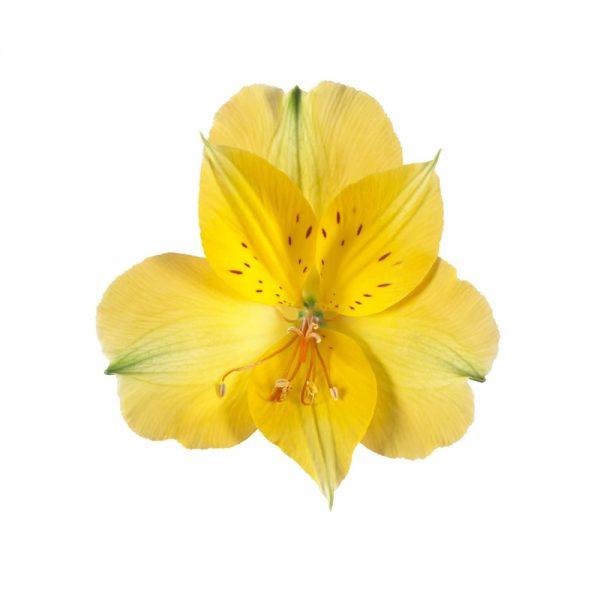 Alstroemeria Colorita® Lisa® 'Zaprilisa'