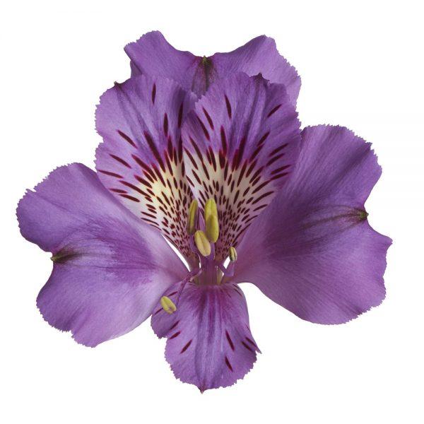 Alstroemeria Colorita® Meghan®