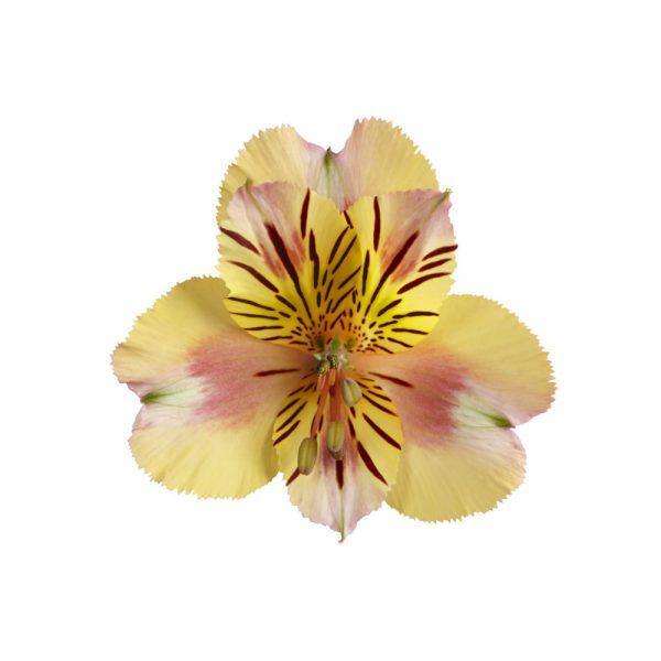 Alstroemeria Colorita® Sara® 'Straprisara'