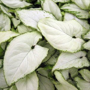 Syngonium 'Holly M'